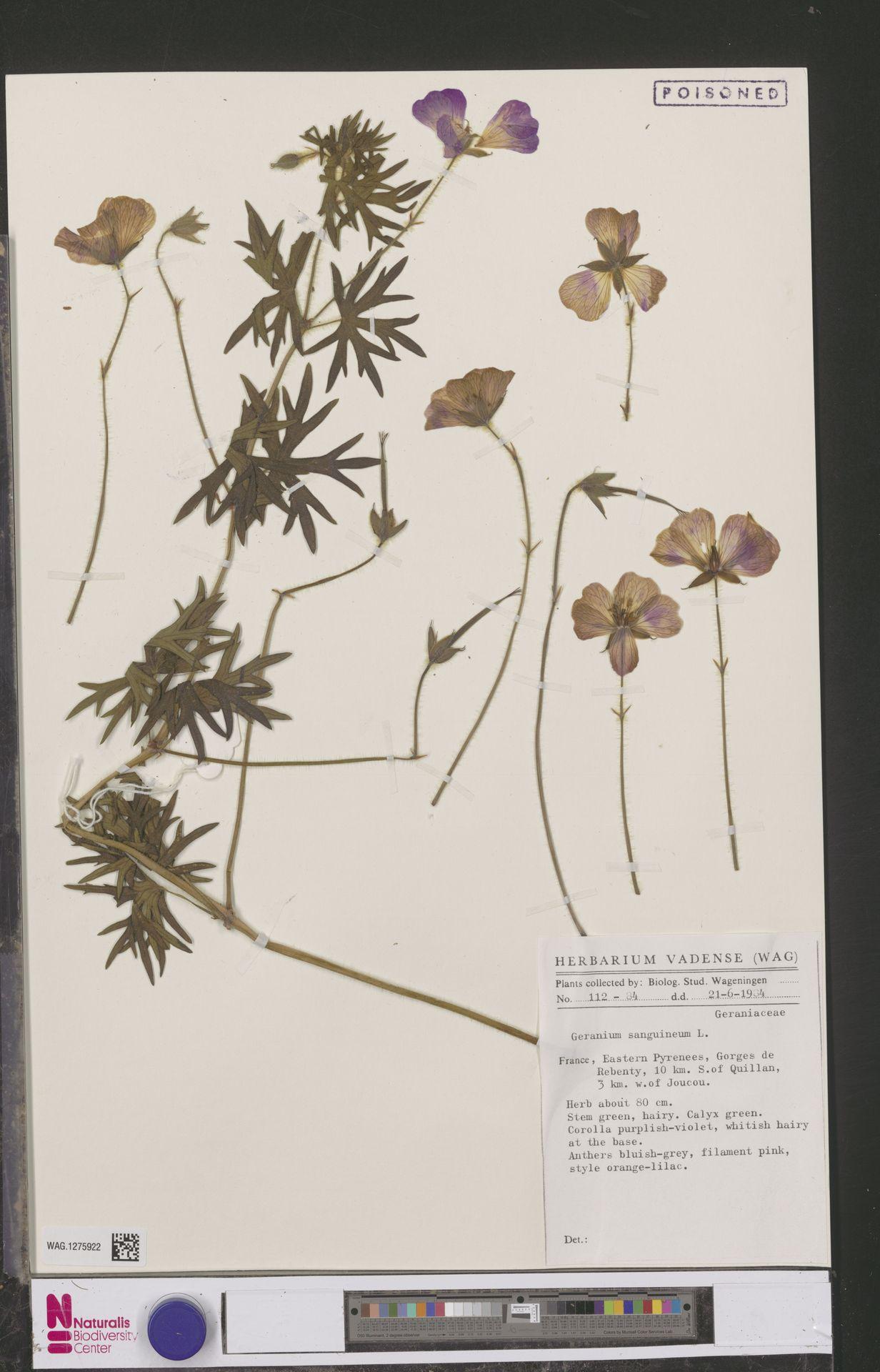 WAG.1275922 | Geranium sanguineum L.