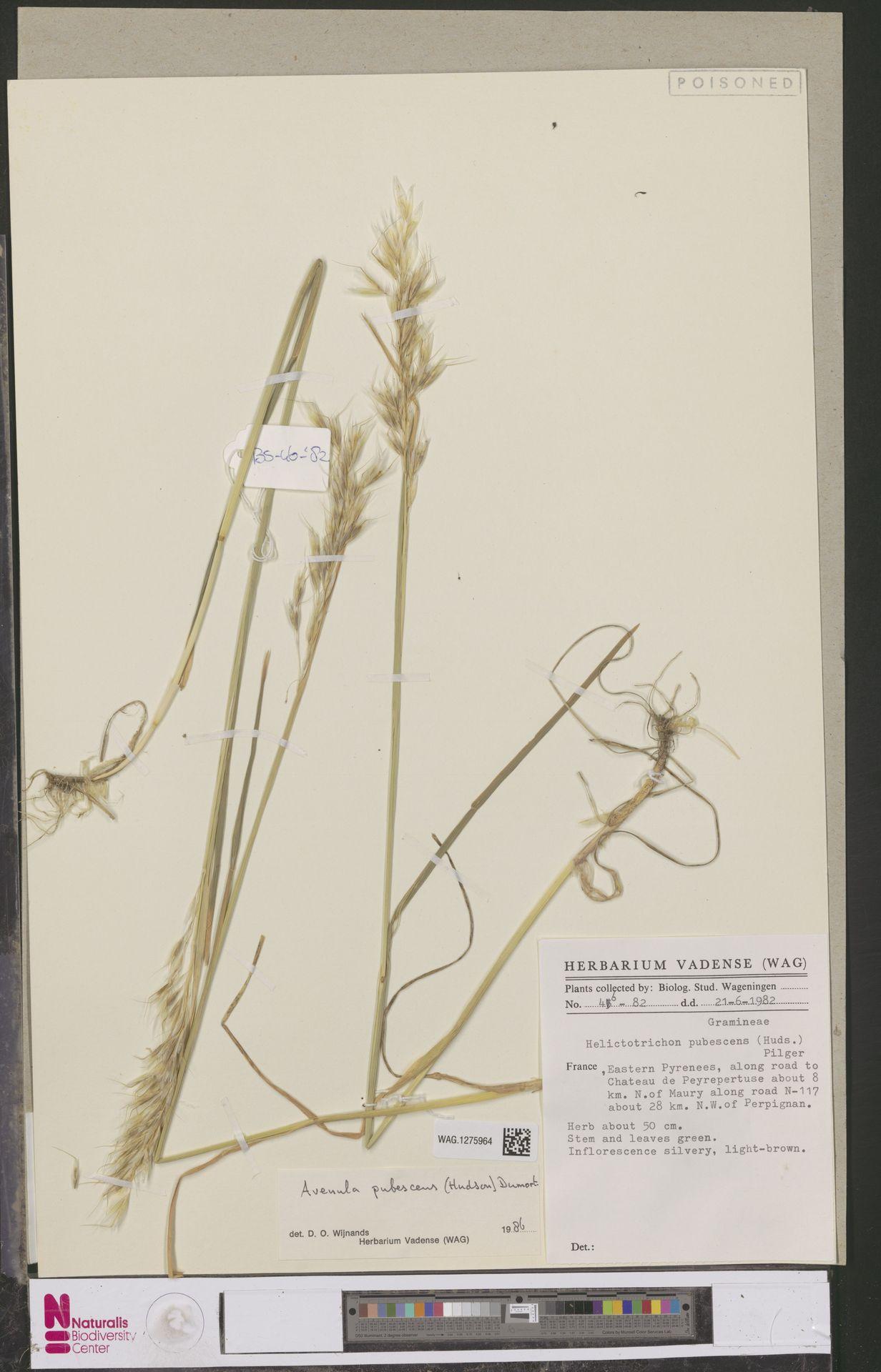 WAG.1275964 | Avenula pubescens (Huds.) Dumort.