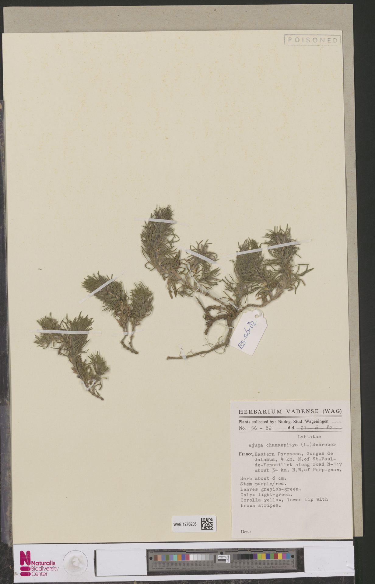 WAG.1276205 | Ajuga chamaepitys (L.) Schreb.