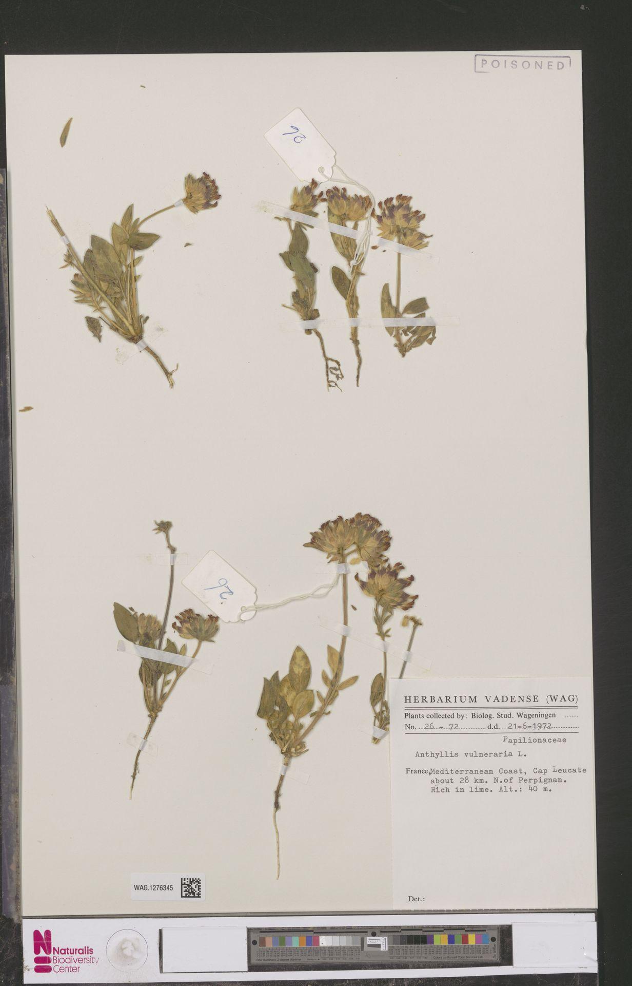 WAG.1276345 | Anthyllis vulneraria L.