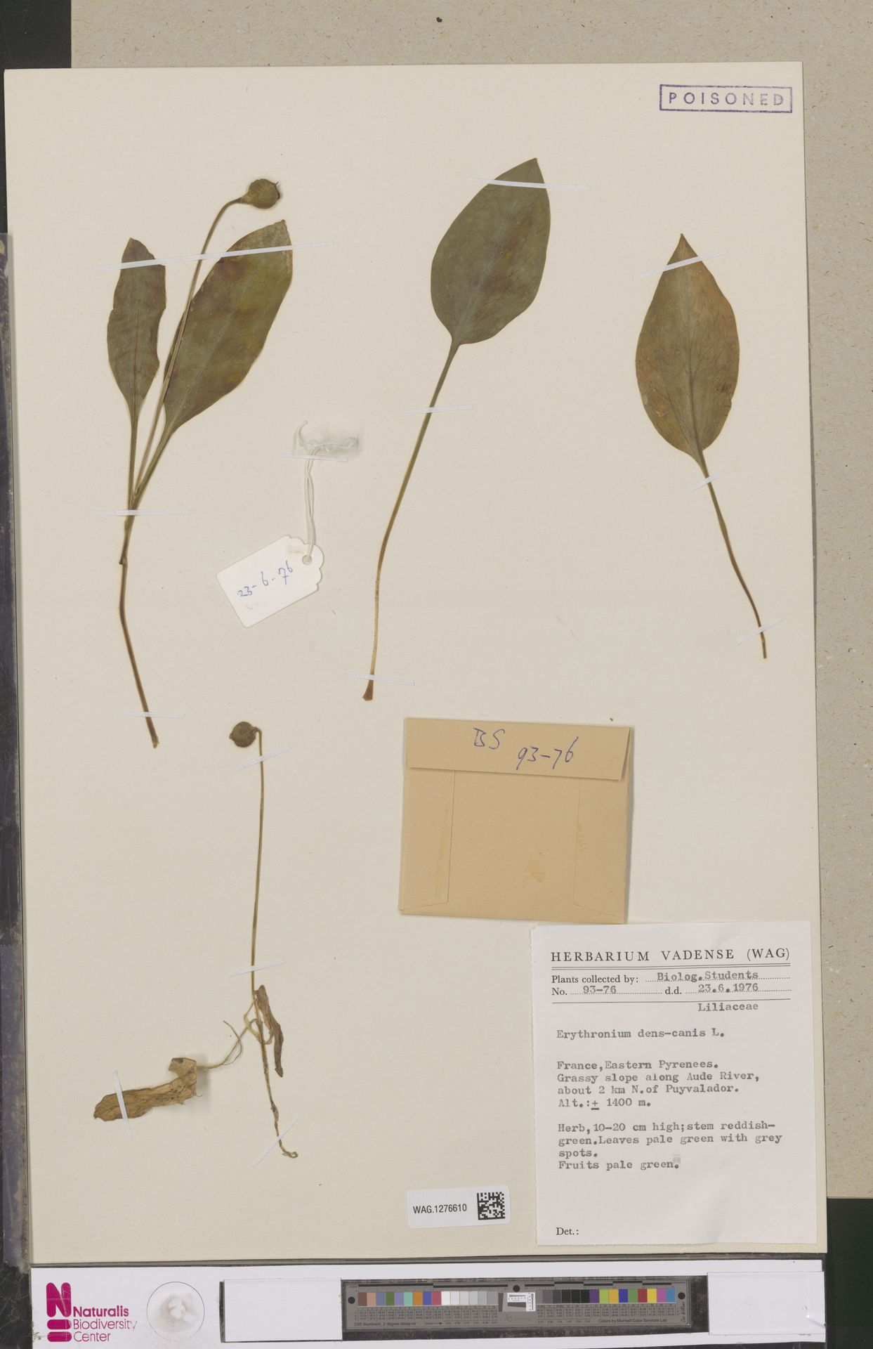 WAG.1276610   Erythronium dens-canis L.