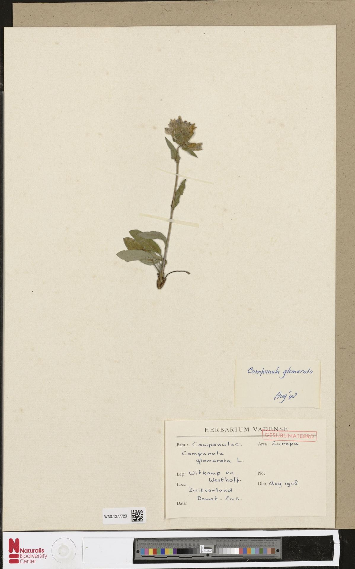 WAG.1277723   Campanula glomerata L.