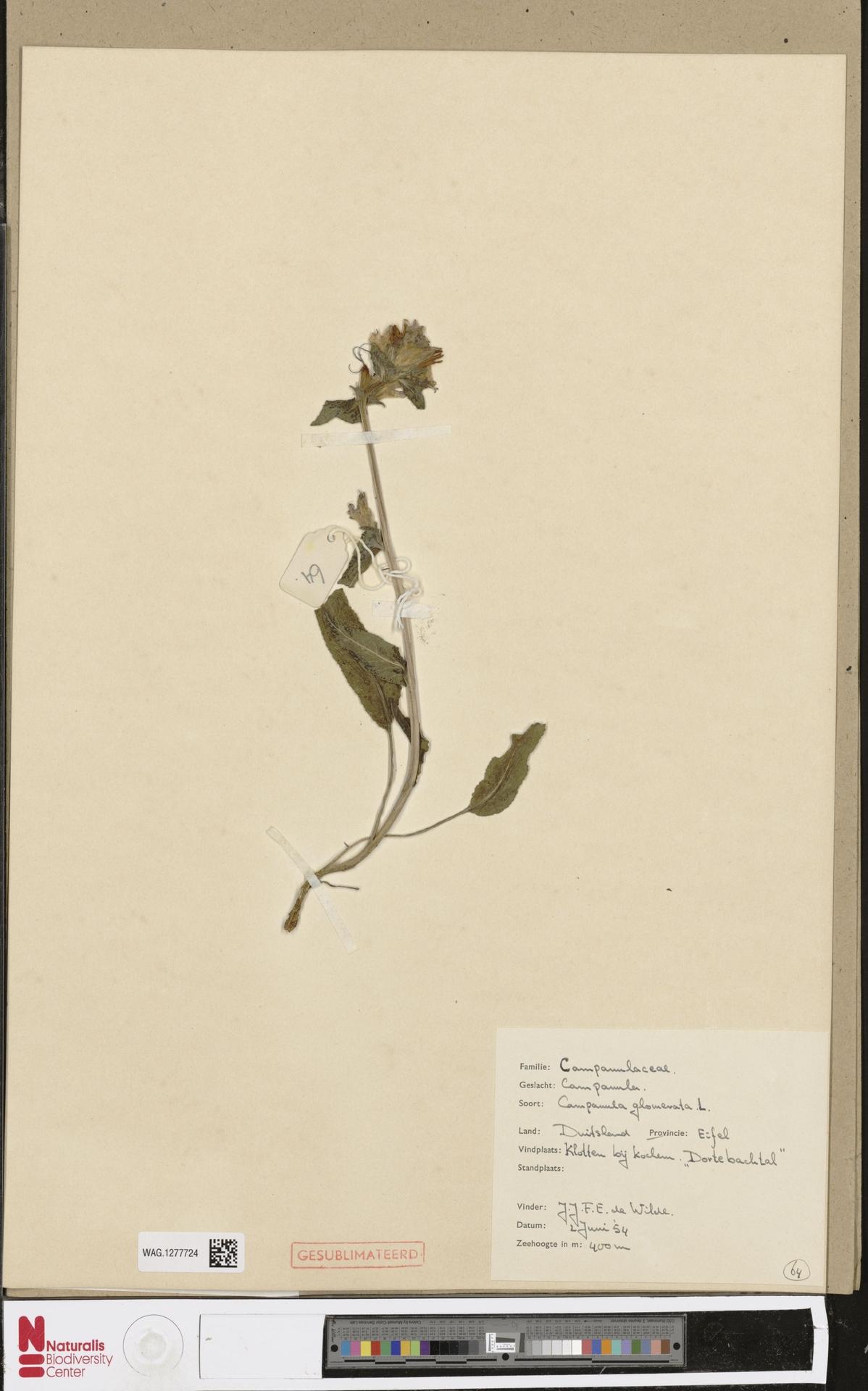 WAG.1277724 | Campanula glomerata L.