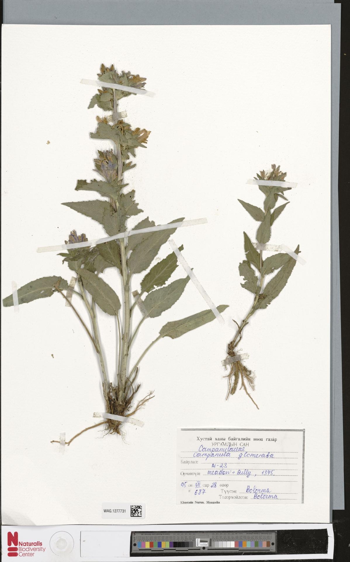 WAG.1277731 | Campanula glomerata L.