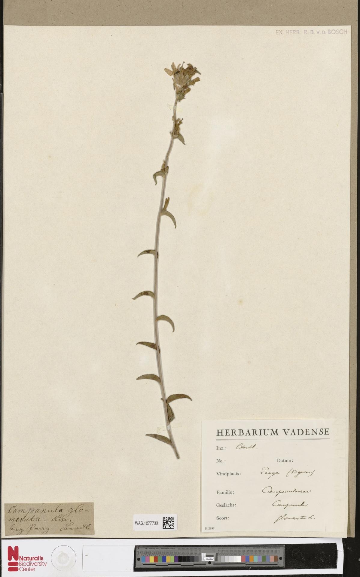 WAG.1277733 | Campanula glomerata L.