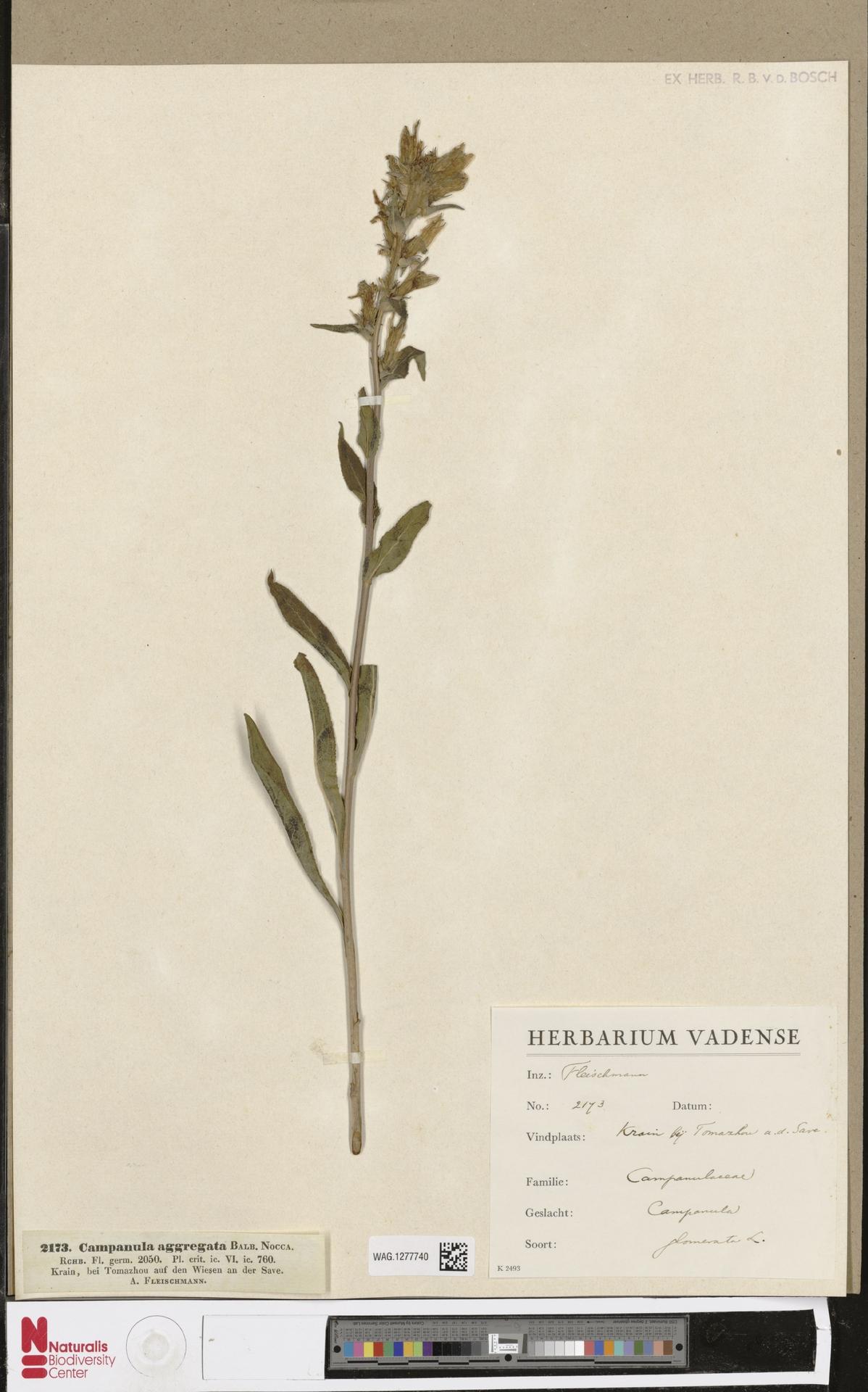 WAG.1277740 | Campanula glomerata L.
