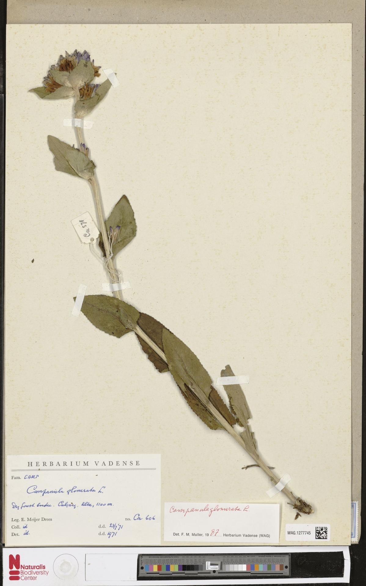 WAG.1277745 | Campanula glomerata L.
