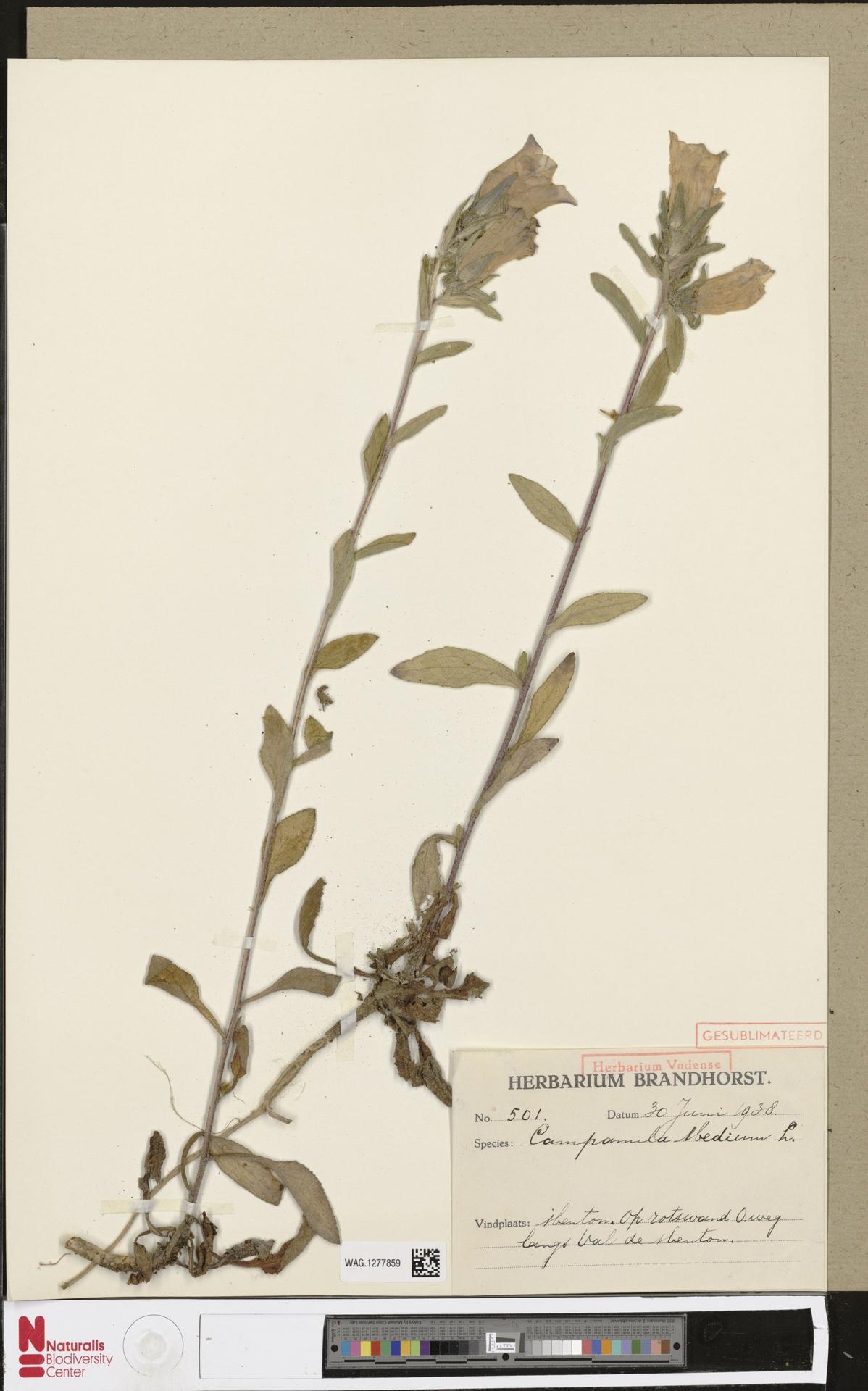 WAG.1277859 | Campanula medium L.