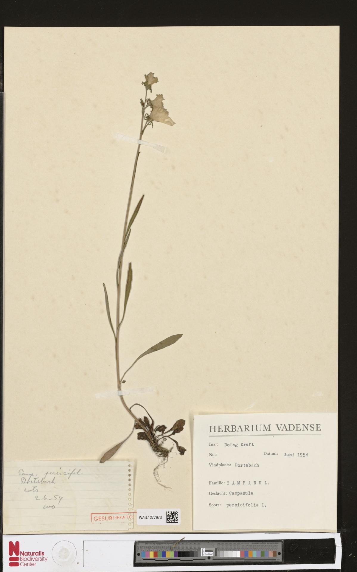 WAG.1277973 | Campanula persicifolia L.