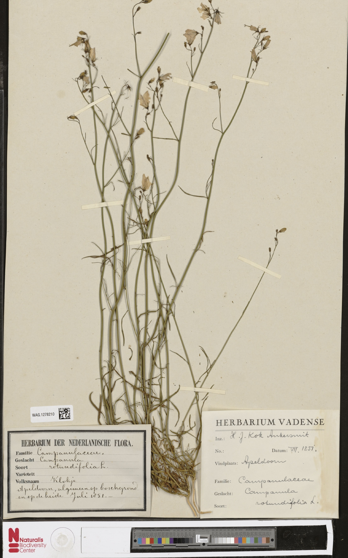 WAG.1278210   Campanula rotundifolia L.
