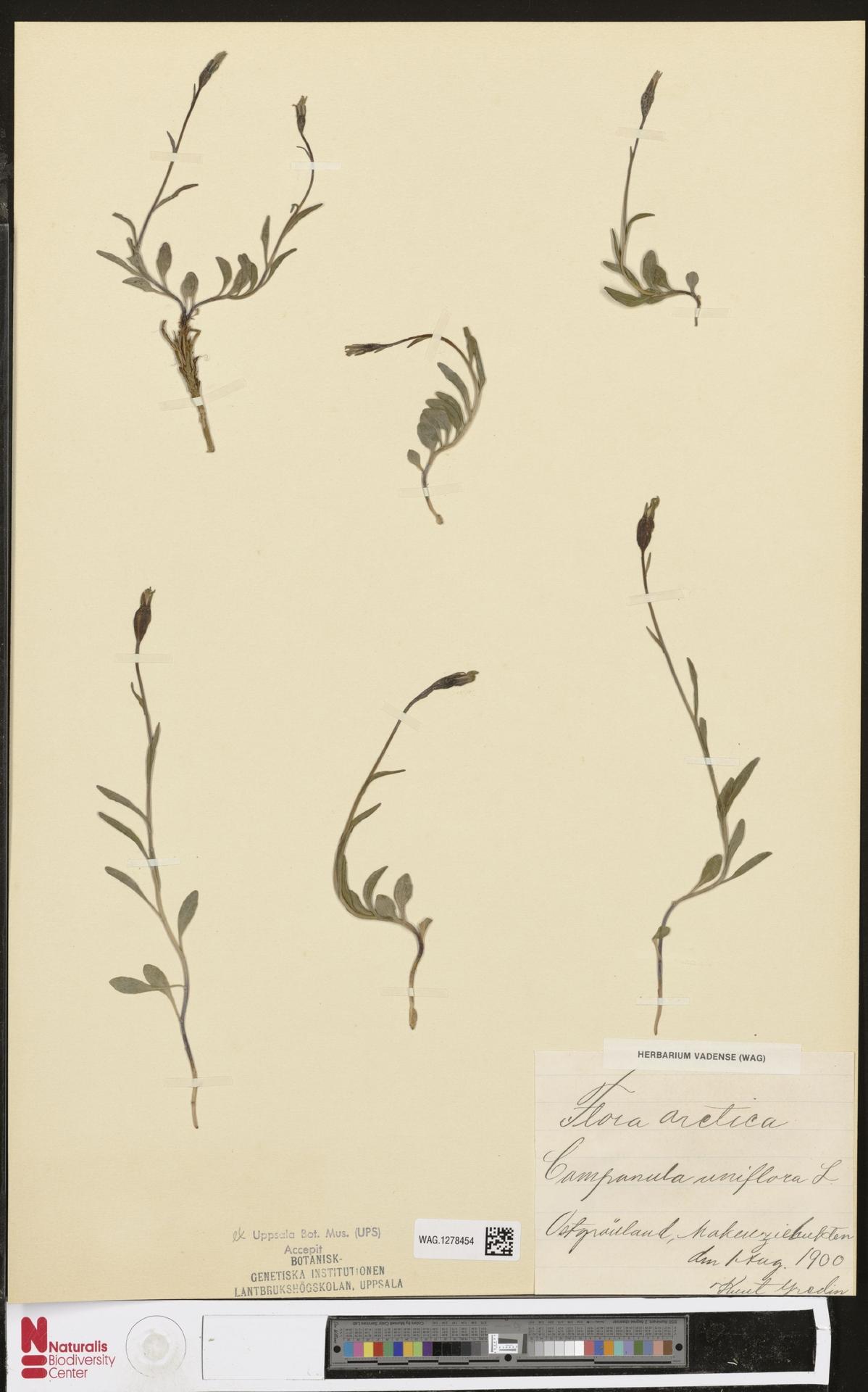 WAG.1278454 | Campanula uniflora L.