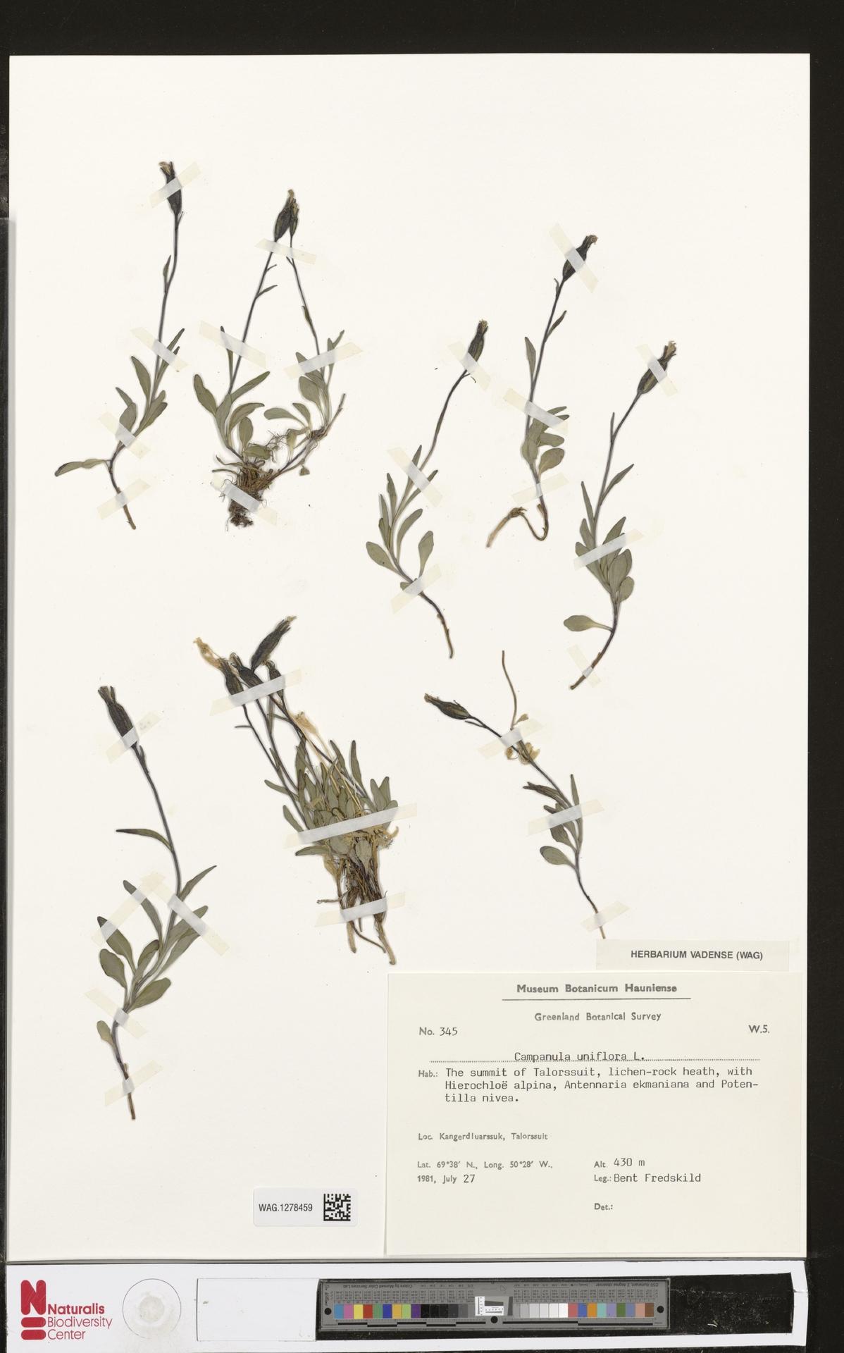 WAG.1278459 | Campanula uniflora L.
