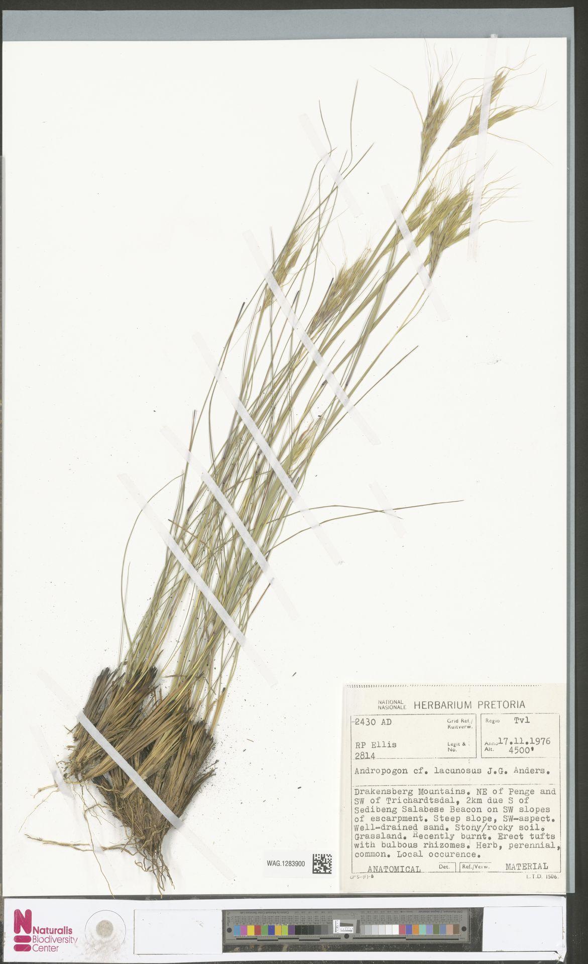 WAG.1283900 | Andropogon schirensis Hochst. ex A.Rich.