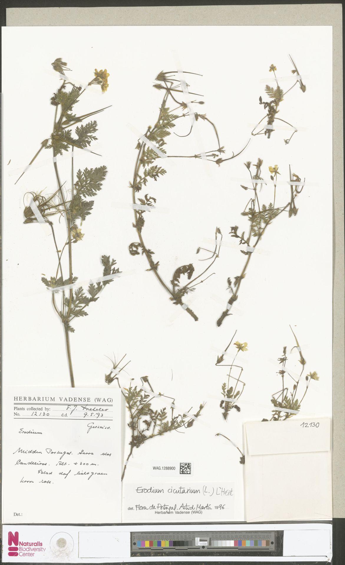 WAG.1288900   Erodium cicutarium (L.) L'Hér.