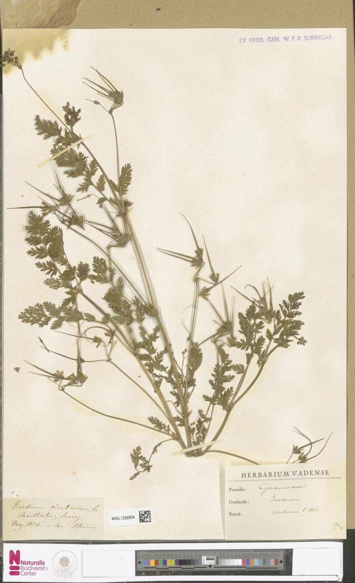 WAG.1288904 | Erodium cicutarium (L.) L'Hér.