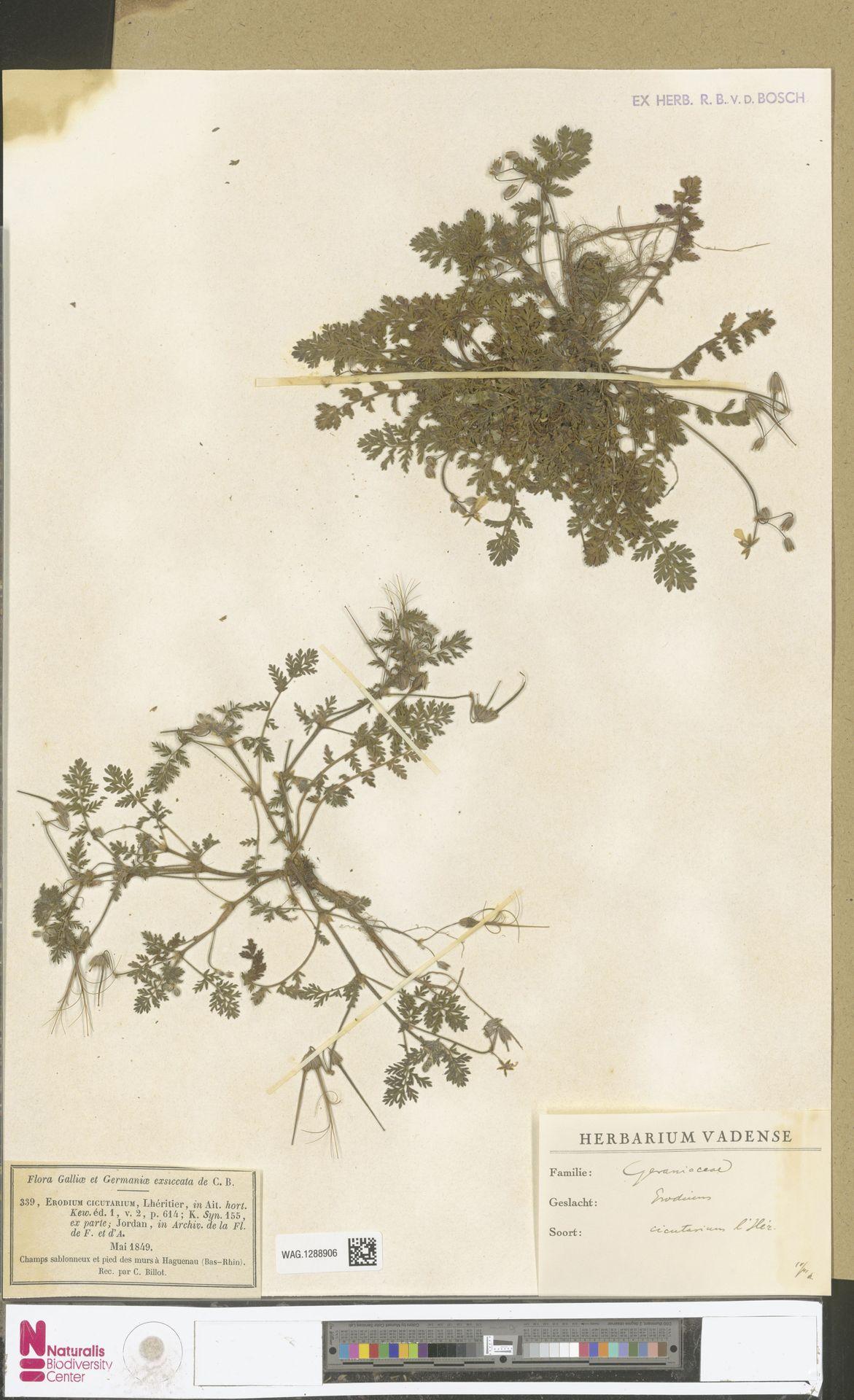 WAG.1288906   Erodium cicutarium (L.) L'Hér.