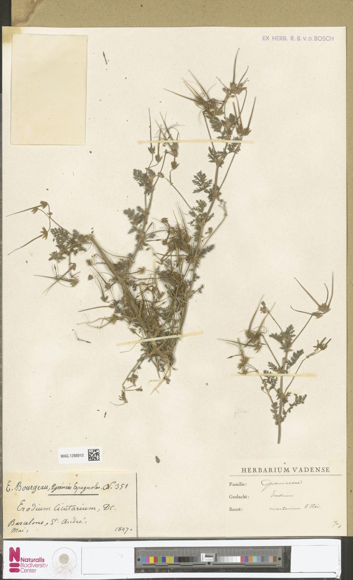 WAG.1288910 | Erodium cicutarium (L.) L'Hér.