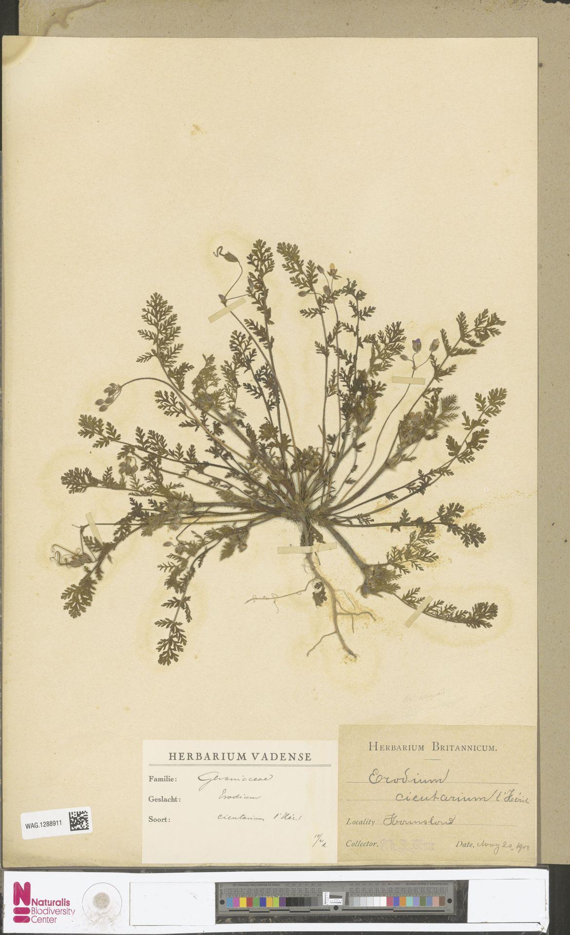 WAG.1288911 | Erodium cicutarium (L.) L'Hér.