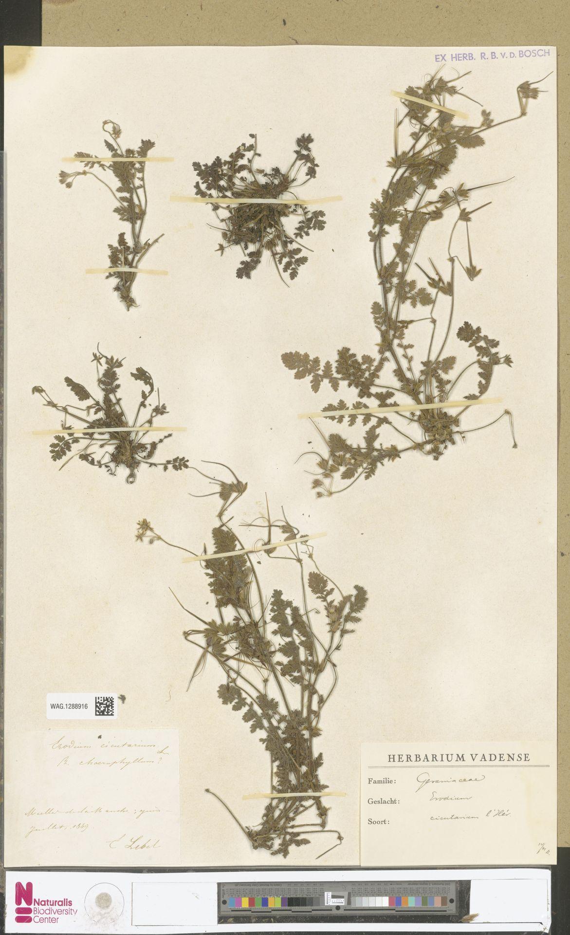 WAG.1288916 | Erodium cicutarium (L.) L'Hér.