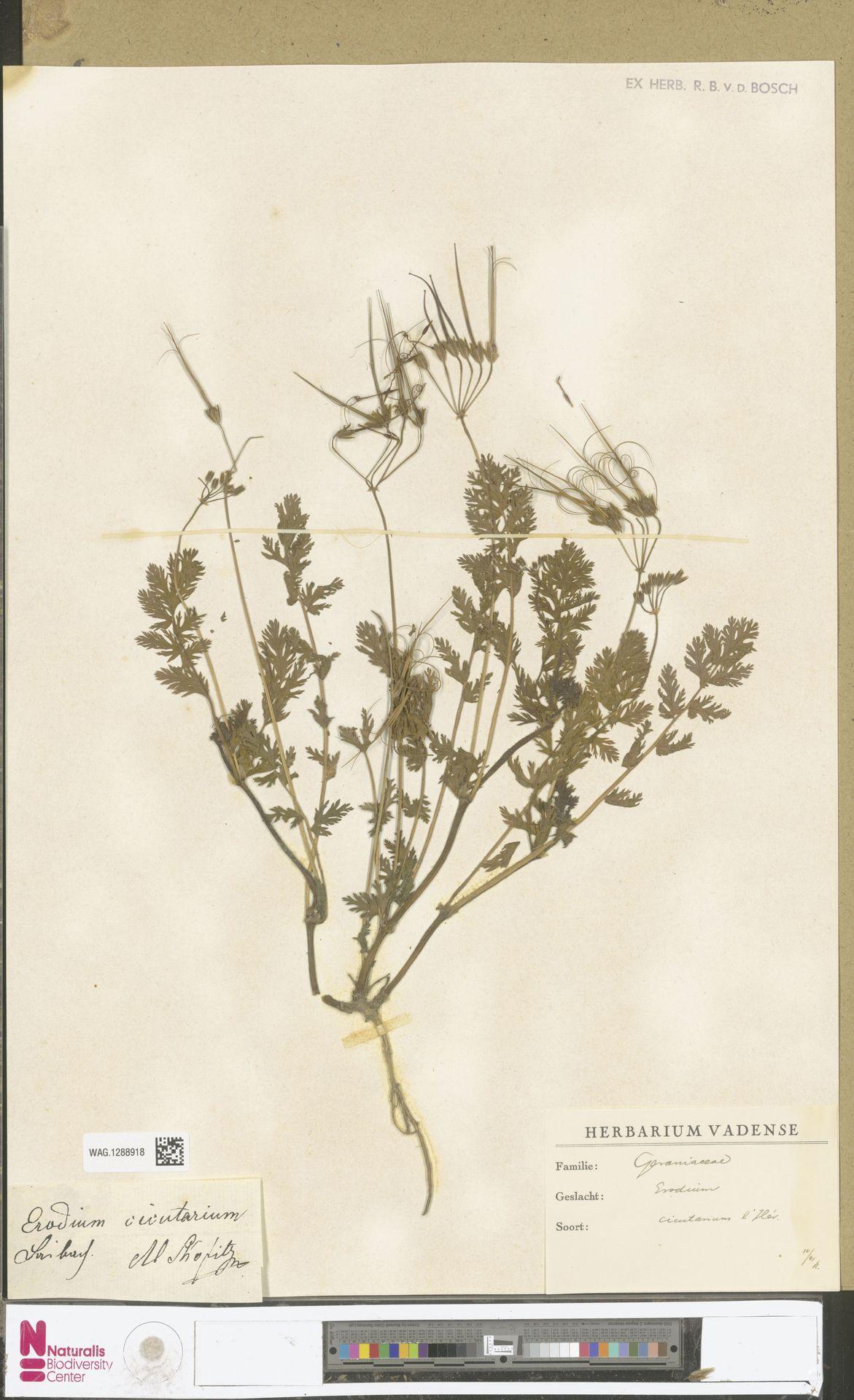 WAG.1288918   Erodium cicutarium (L.) L'Hér.