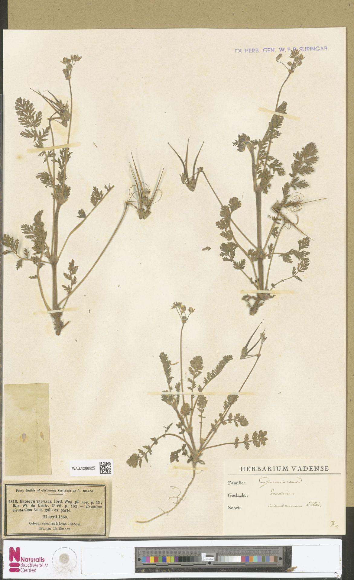 WAG.1288925 | Erodium cicutarium (L.) L'Hér.