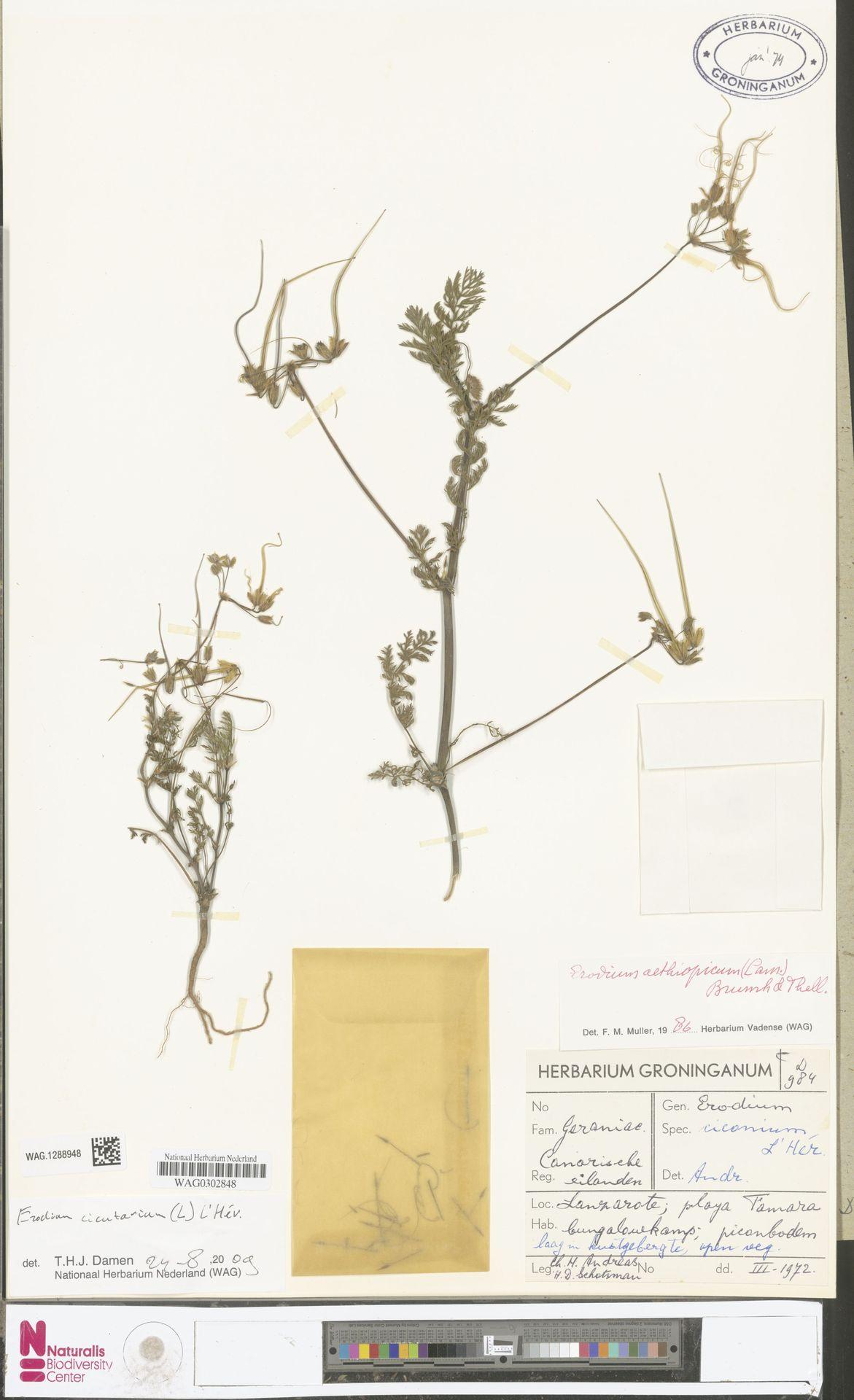 WAG.1288948 | Erodium cicutarium (L.) L'Hér.