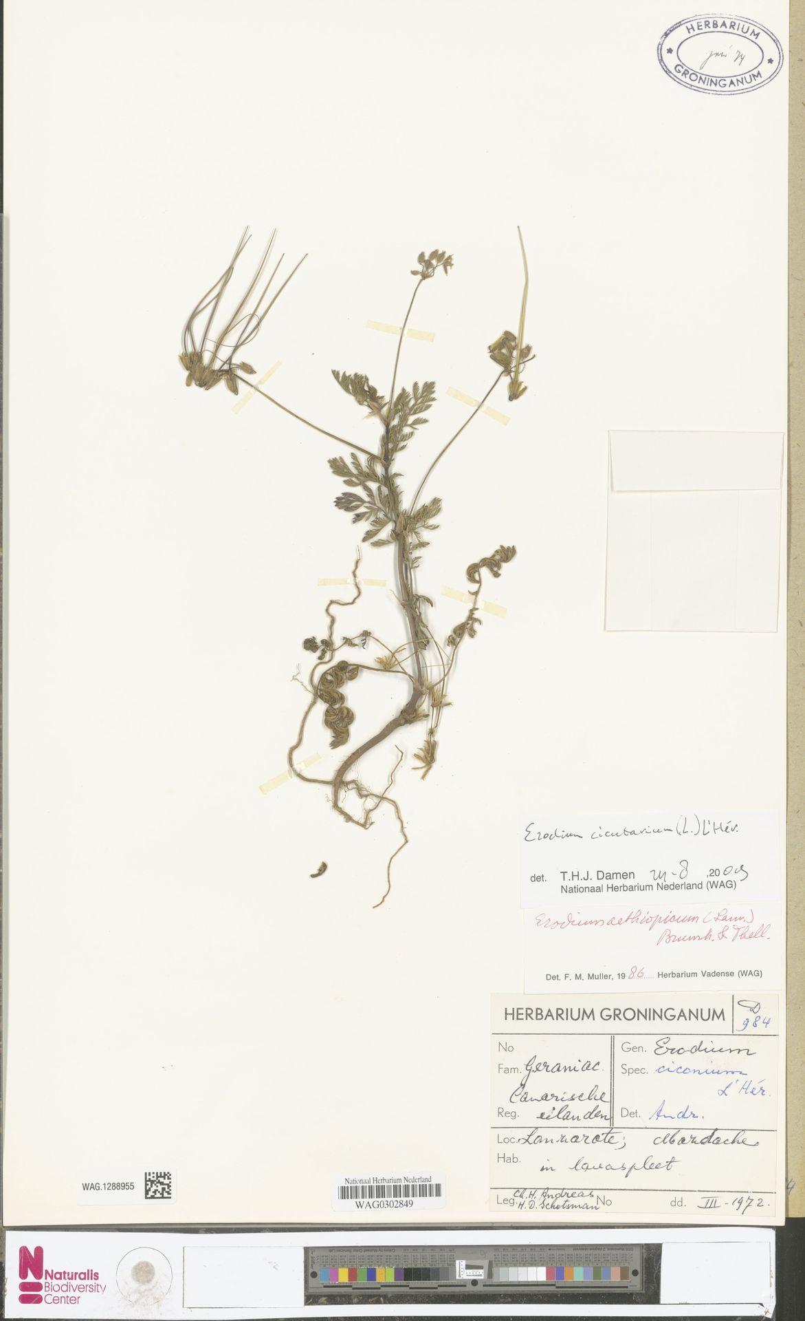 WAG.1288955   Erodium cicutarium (L.) L'Hér.