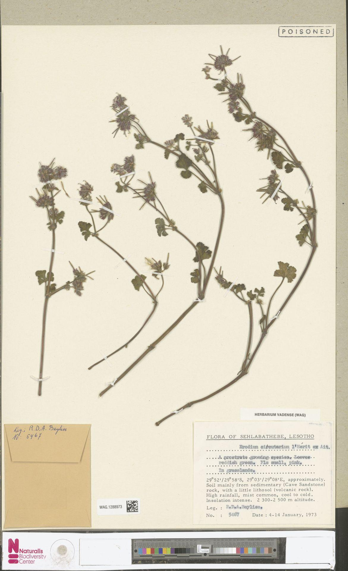 WAG.1288973 | Erodium cicutarium (L.) L'Hér.