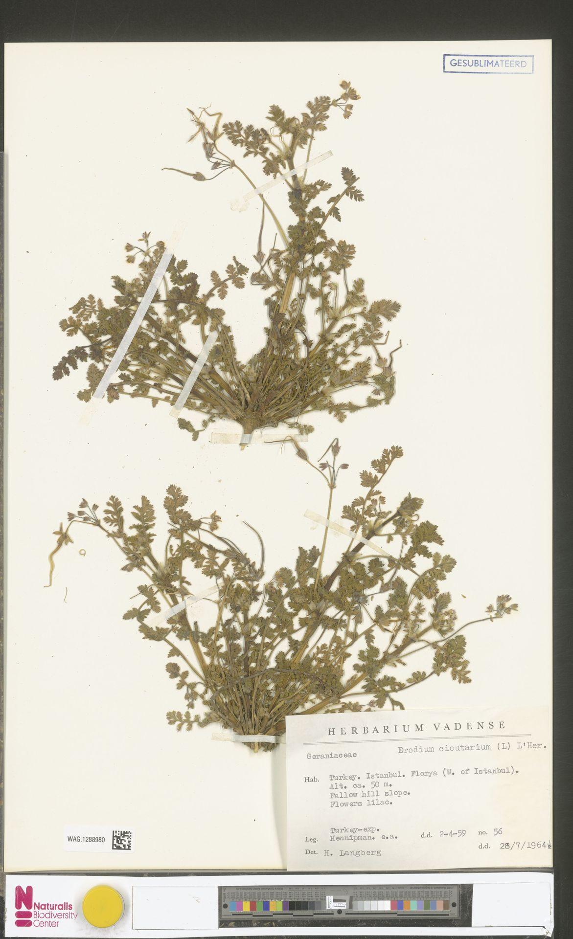 WAG.1288980 | Erodium cicutarium (L.) L'Hér.