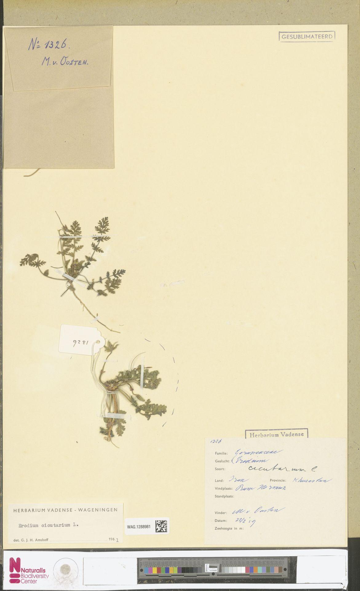 WAG.1288981 | Erodium cicutarium (L.) L'Hér.