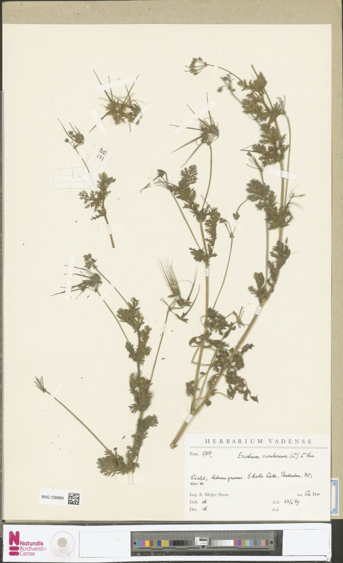 WAG.1288984 | Erodium cicutarium (L.) L'Hér.