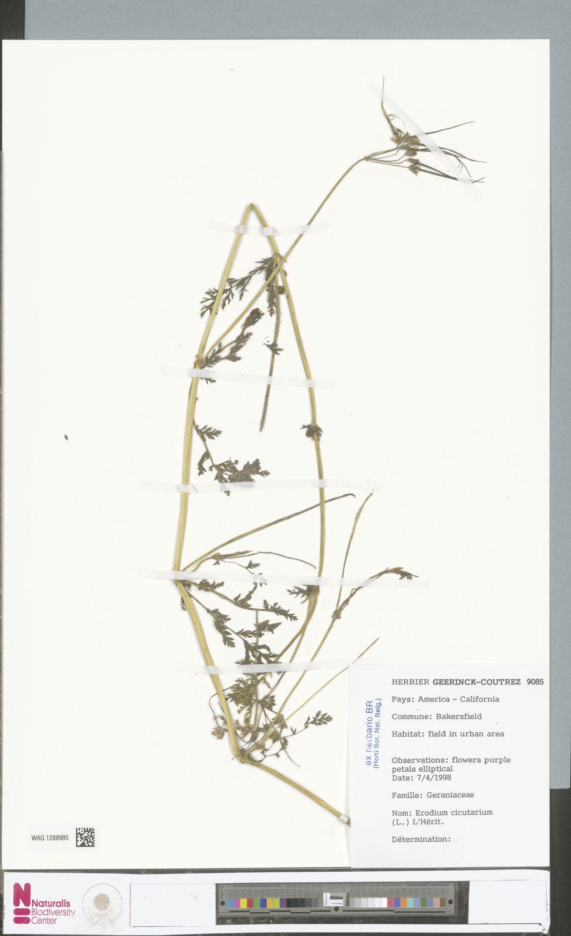 WAG.1288985 | Erodium cicutarium (L.) L'Hér.
