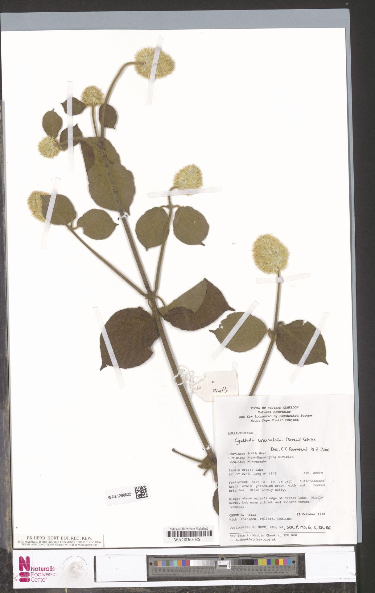 WAG.1290822   Cyathula uncinulata (Schrad.) Schinz