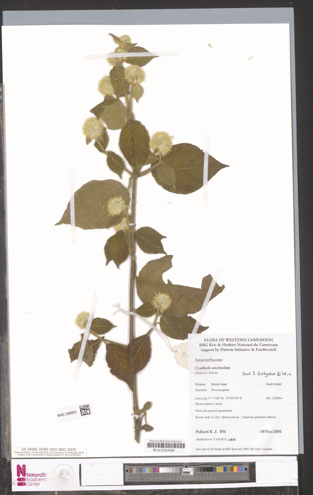 WAG.1290823   Cyathula uncinulata (Schrad.) Schinz
