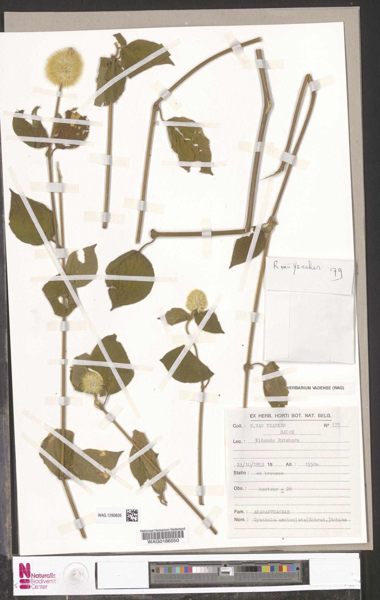 WAG.1290826 | Cyathula uncinulata (Schrad.) Schinz