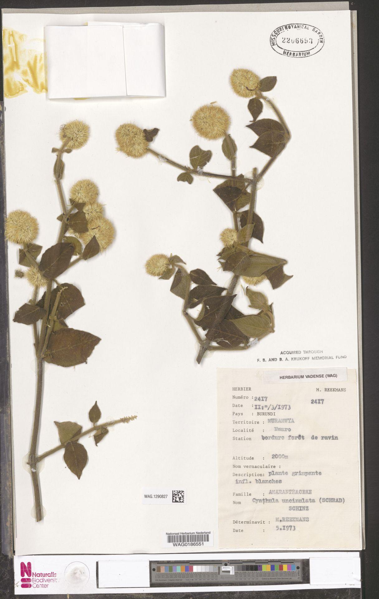 WAG.1290827 | Cyathula uncinulata (Schrad.) Schinz