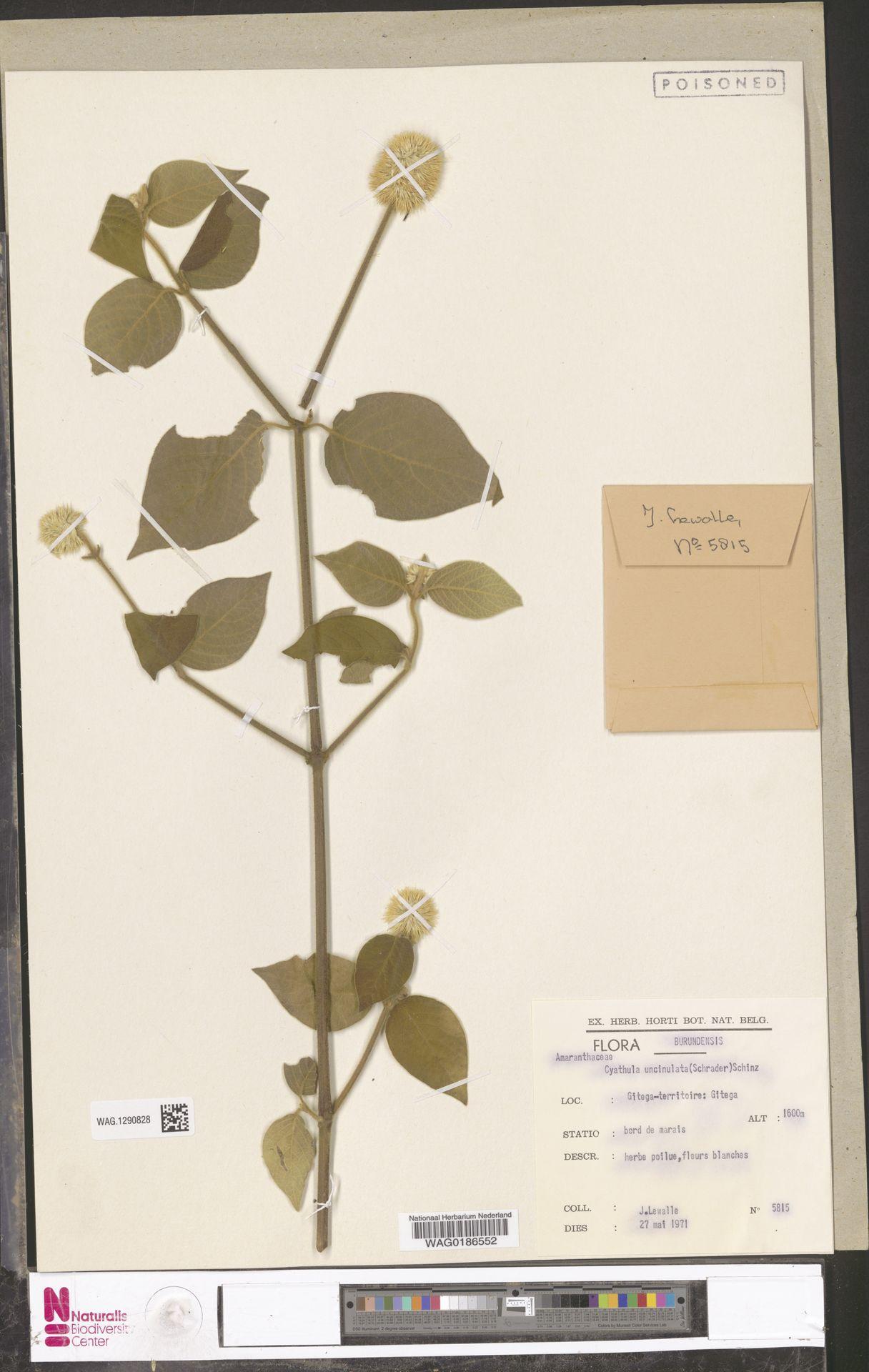 WAG.1290828 | Cyathula uncinulata (Schrad.) Schinz