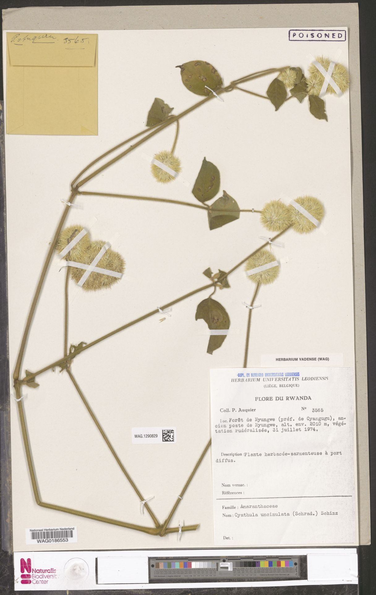 WAG.1290829 | Cyathula uncinulata (Schrad.) Schinz
