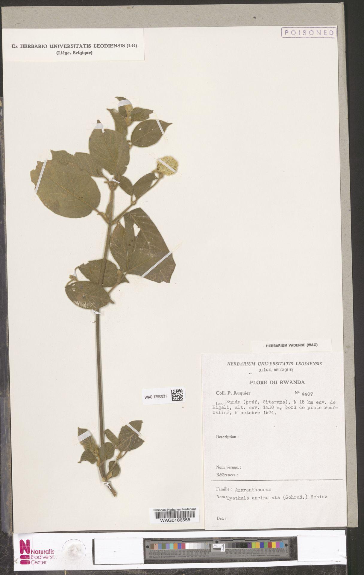 WAG.1290831 | Cyathula uncinulata (Schrad.) Schinz