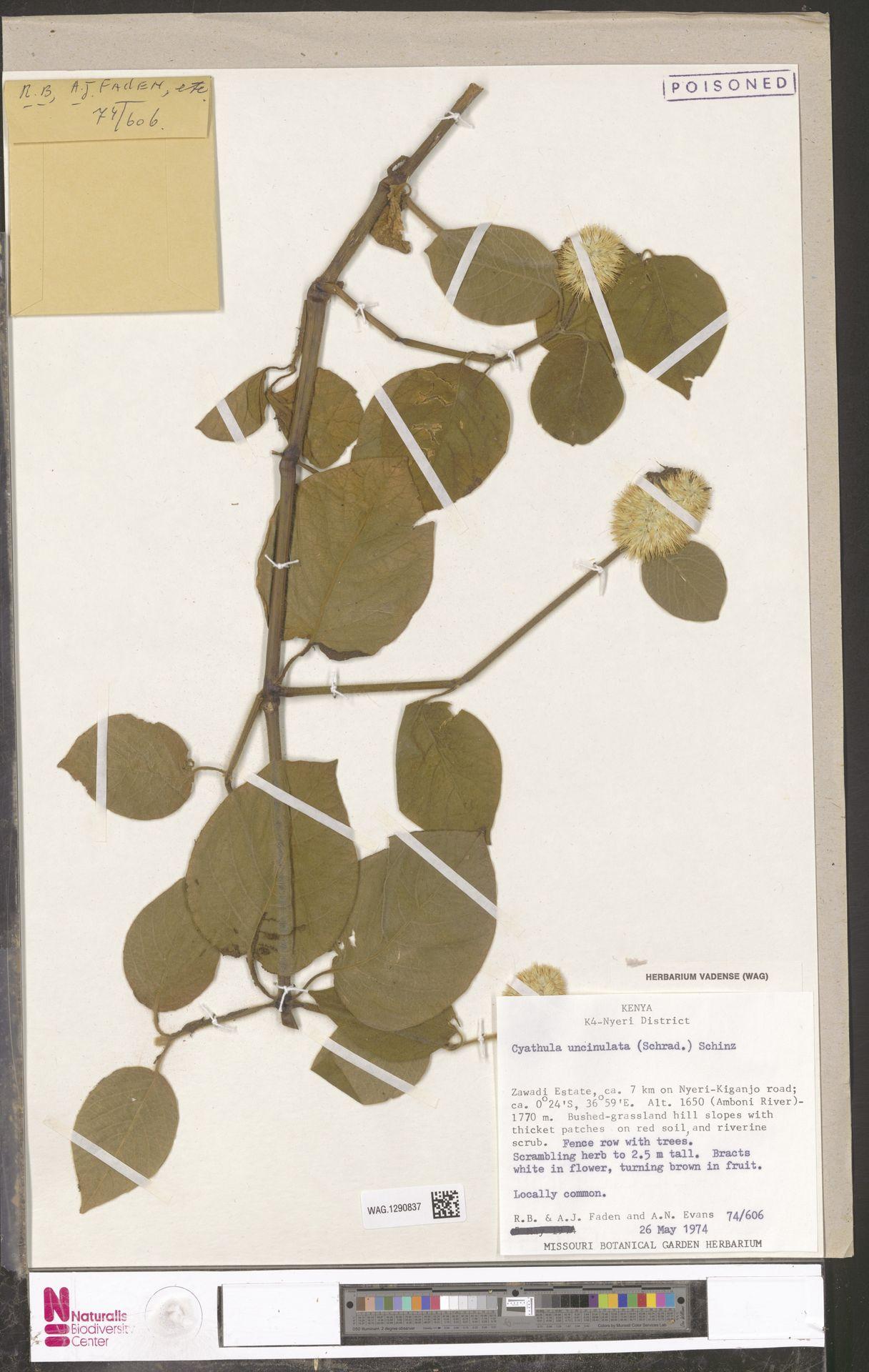 WAG.1290837 | Cyathula uncinulata (Schrad.) Schinz