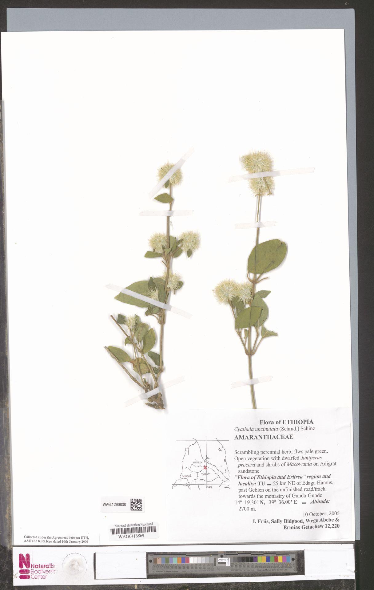 WAG.1290838 | Cyathula uncinulata (Schrad.) Schinz