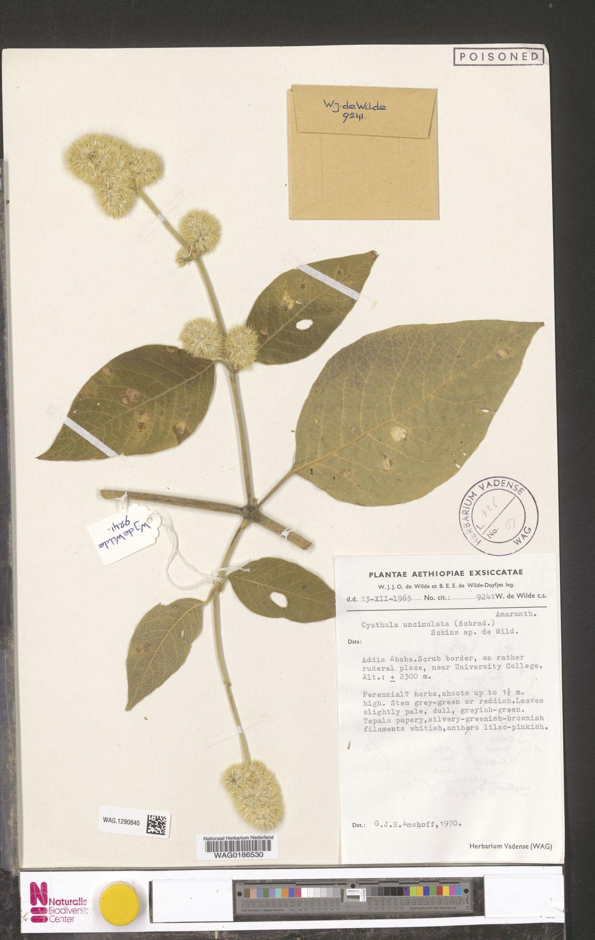 WAG.1290840 | Cyathula uncinulata (Schrad.) Schinz