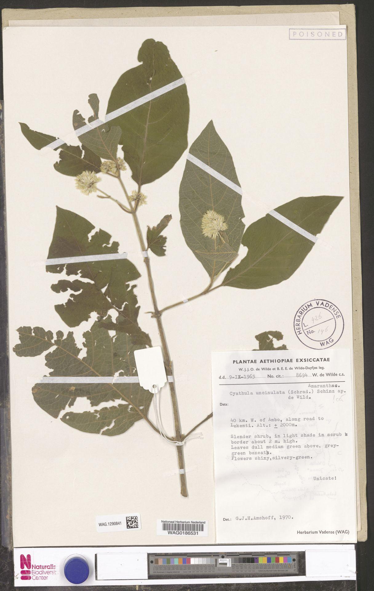 WAG.1290841 | Cyathula uncinulata (Schrad.) Schinz