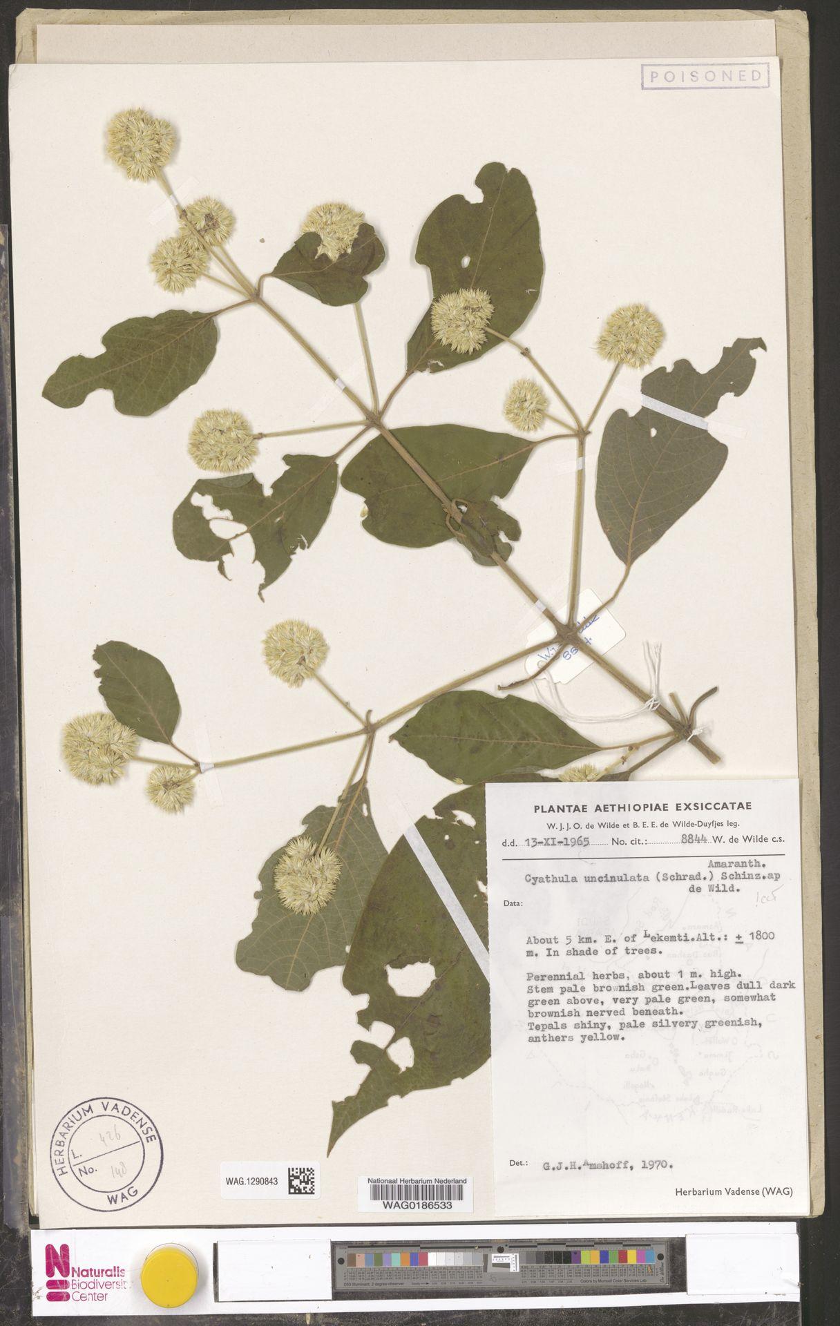 WAG.1290843   Cyathula uncinulata (Schrad.) Schinz