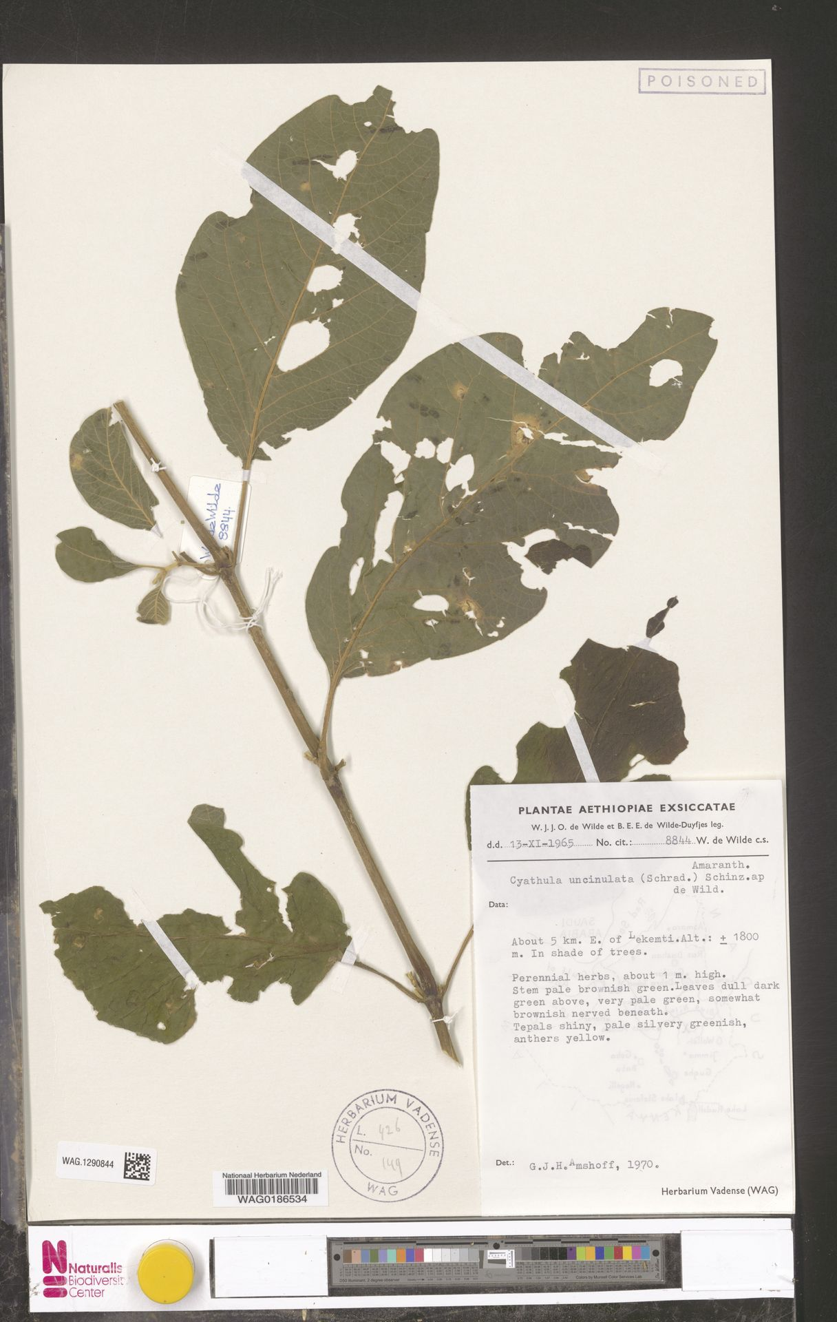 WAG.1290844 | Cyathula uncinulata (Schrad.) Schinz