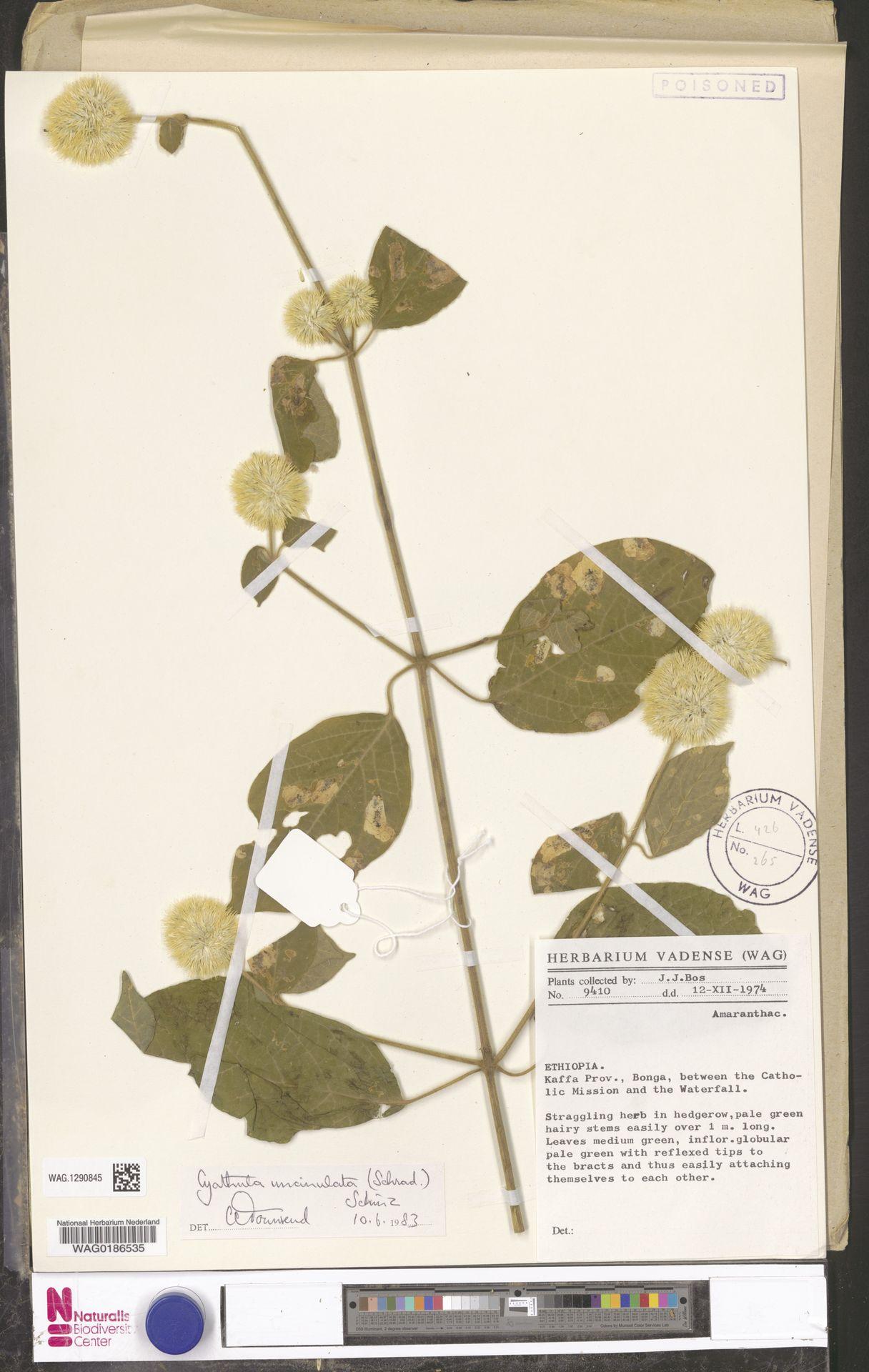 WAG.1290845 | Cyathula uncinulata (Schrad.) Schinz