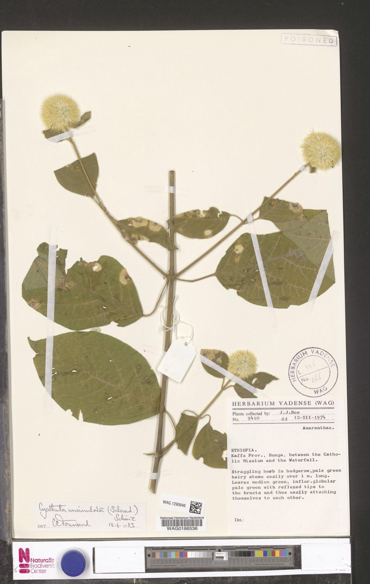 WAG.1290846 | Cyathula uncinulata (Schrad.) Schinz