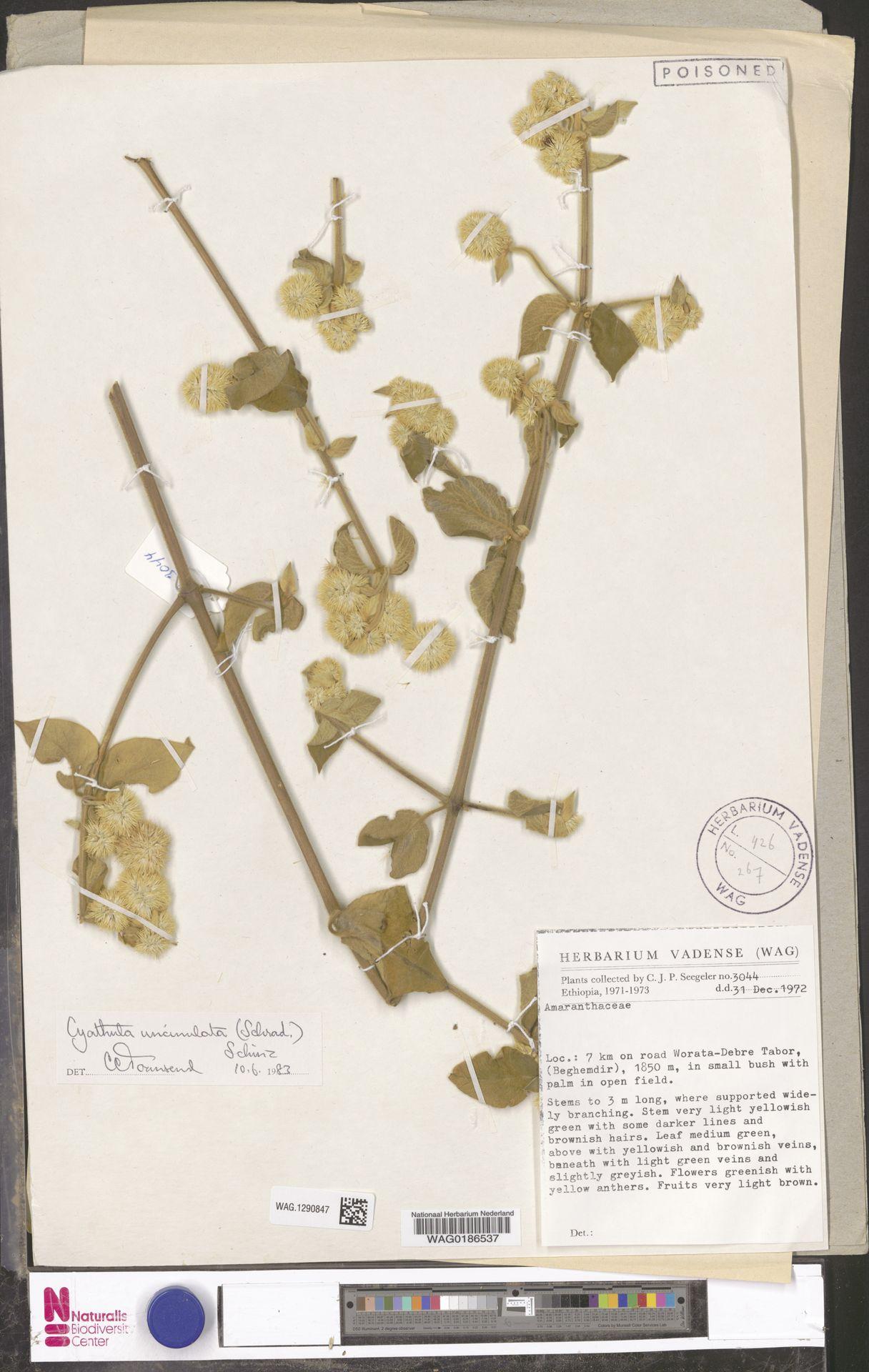 WAG.1290847   Cyathula uncinulata (Schrad.) Schinz