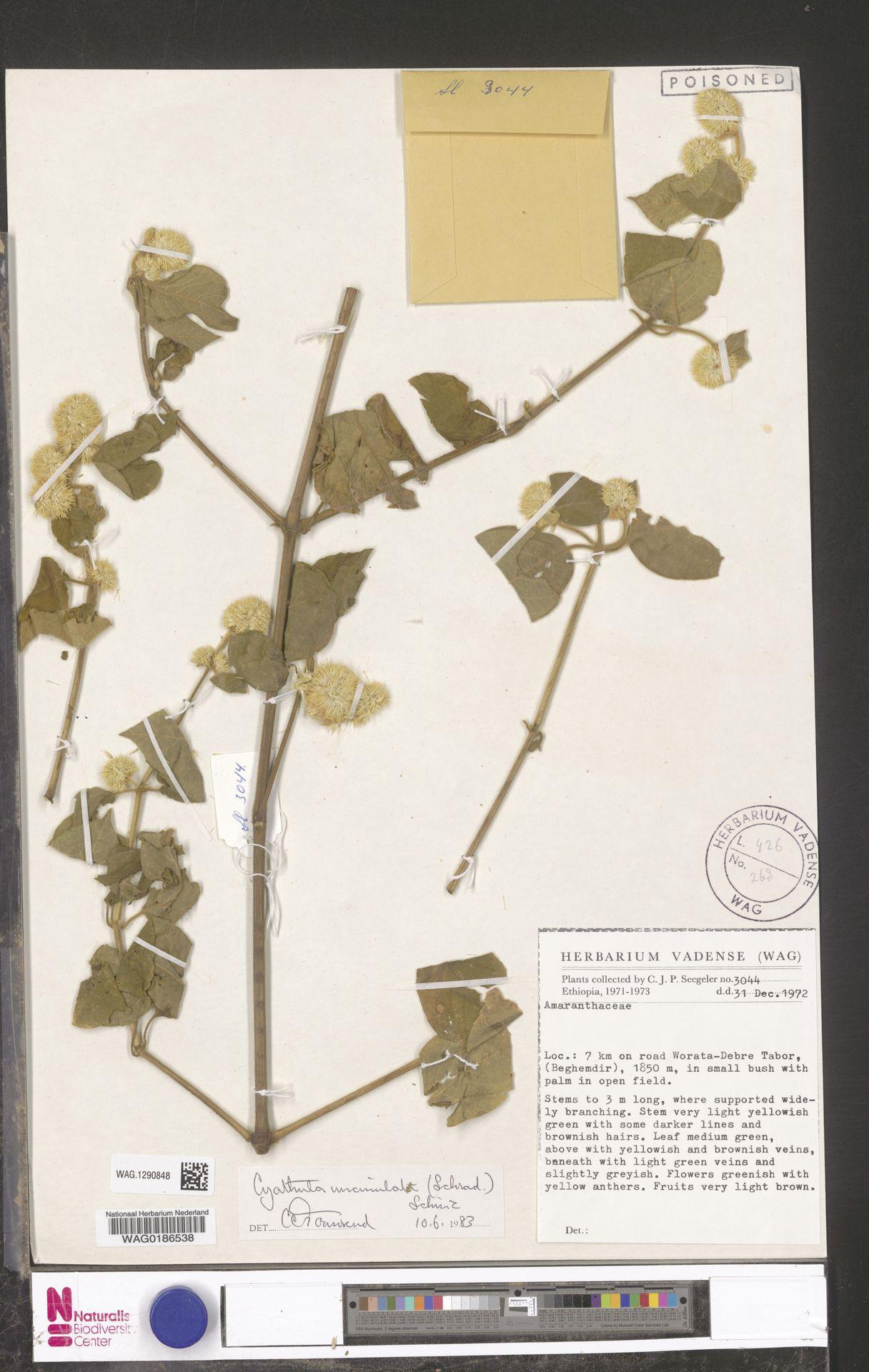 WAG.1290848 | Cyathula uncinulata (Schrad.) Schinz