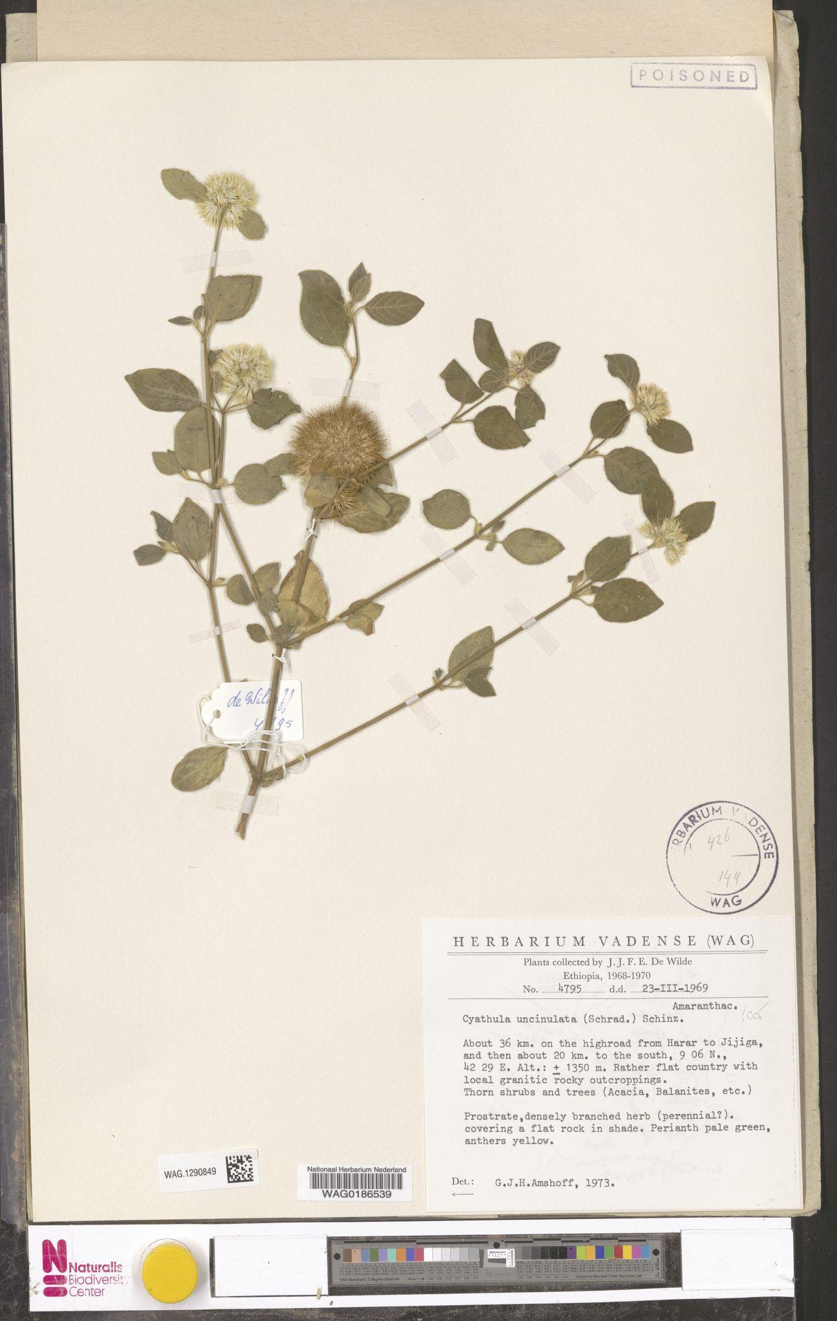 WAG.1290849 | Cyathula uncinulata (Schrad.) Schinz